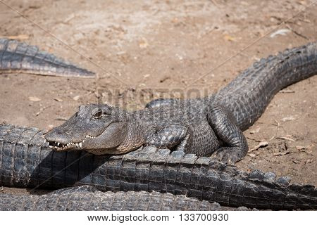 Young alligator with his head resing on tail of a larger alligator