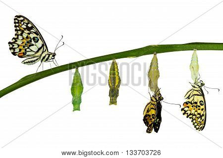 Isolated transformation of Lime Butterfly ( papilio demoleus ) on white with clipping path poster