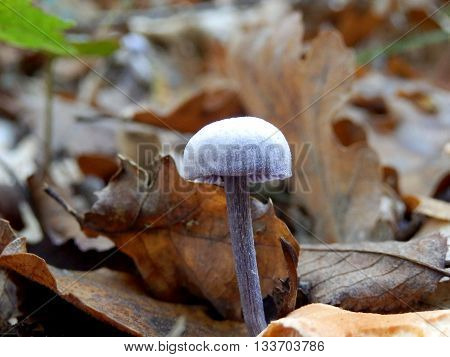 Laccaria amethystina (Amethyst Deceiver). So called as deep purplish lilac when wet