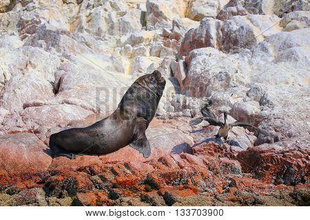 Mature South American Sea Lion In Ballestas Islands Reserve In Peru