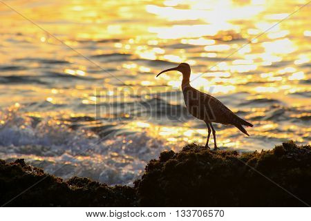 Silhouette Of A Whimbrel At Sunrise In Paracas National Reserve, Peru