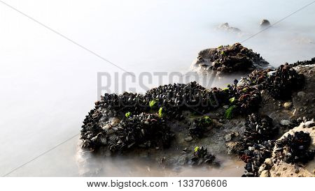 Black Mussels On The Rocks Emerge From The Fog
