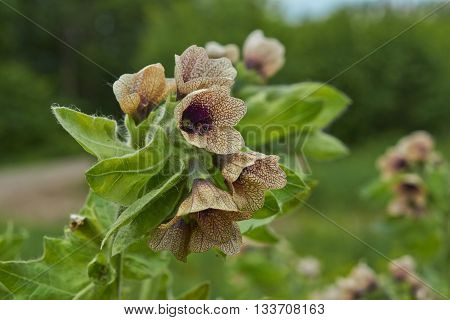 In a forest glade flowers poisonous henbane.