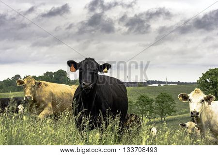 Crossbred cattle standing in a pasture of tall grasses with hills in the background
