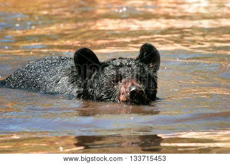 American Black Bear Swimming In The Water