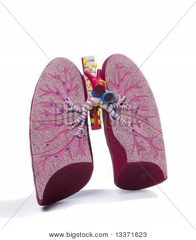 Anatomic Model Of A Lung