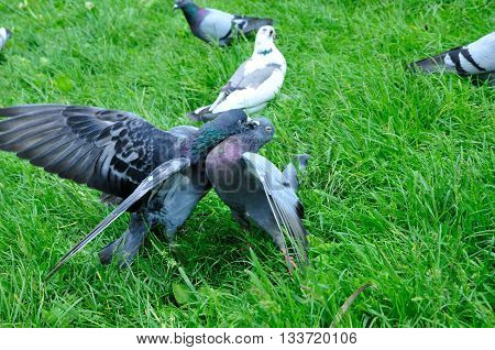 Pigeons find out the relationship, the struggle pigeons.