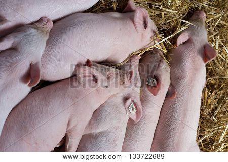 Piglets Sleeping On Straw