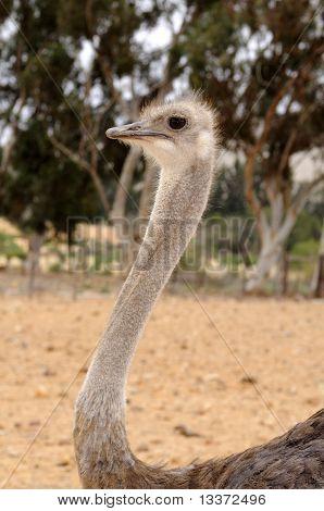 Female Ostrich