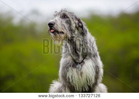Portrait of Irish Wolfhound on a green background