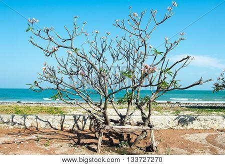 Frangipani tree by the sea. side the sea with blue sky