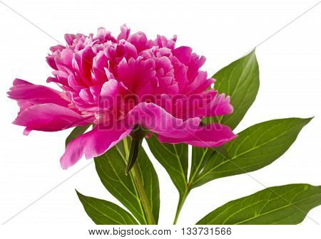 Pink peony flower (Paeonia lactiflora) on a white background
