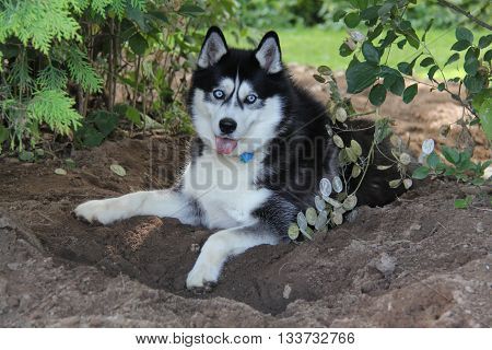 Adorable Husky, sitting in the garden with dirt all over its tongue.