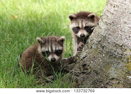 Two baby raccoons who have left their den for the very first time.