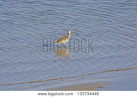 Long Billed Curlew on an Ocean Shore in the Aransas National Wildlife Refuge on the Texas Gulf Coast