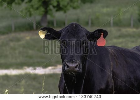 Angus brood cow in a fescue pasture