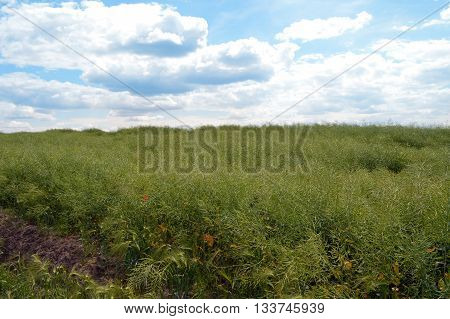 Field of green ripeness oilseed rape isolated on a cloudy blue sky in summer time