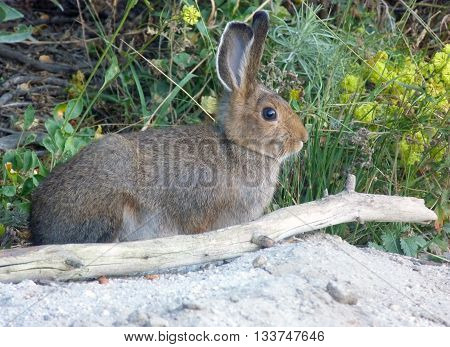 an Idaho cottontail rabbit - Boise National Forest
