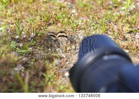 Greater Painted-snipe Rostratula benghalensis juvenile Birds of Thailand