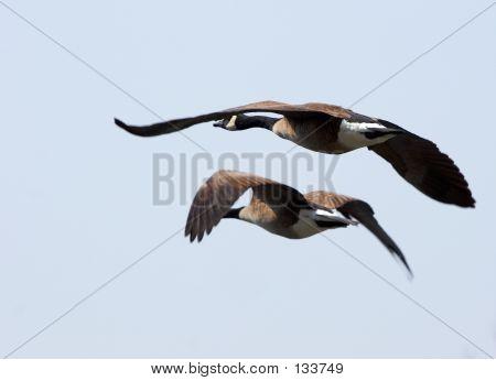 Pair Of Flying Geeses