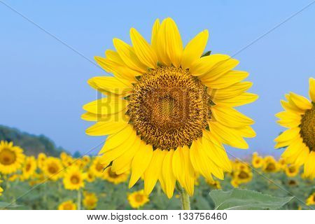 Sunflower Yellow Color