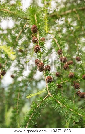 Larch pine tree with pine cones during summer