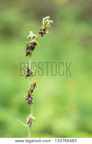 Fly orchid (Ophrys insectifera) flower stem. Rare orchid inflorescence of plant in the family Orchidaceae growing in woodland