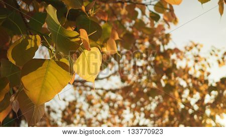 Golden Pho or Bodhi tree leaves heart-shaped leaves in sunshine morning. Bodhi trees are planted close proximity to Buddhist monastery