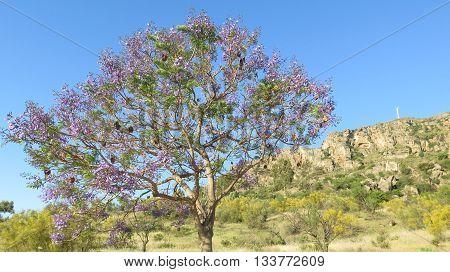 Flowering Jacaranda Tree
