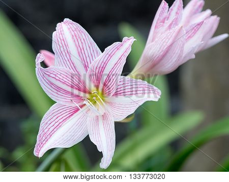 Hippeastrum Plant. Beautiful pink and white Amaryllis (Hipperastrum) flowers blossom in garden.