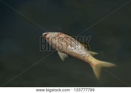 dead fish floated in the dark water