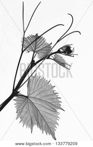 grape branch with young leaflets and tendrils