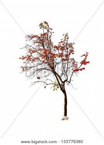 Bastard Teak Or Bengal Kino Tree Isolated On White Background