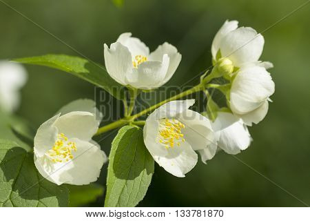 Mock orange tree flower blossoms in summer