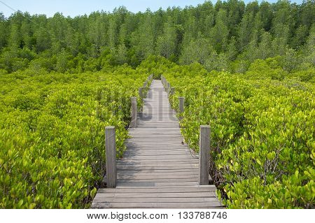 """Wooden walkway bridge on Ceriops Tagal field in mangrove forest located at Rayong Thailand. This attraction called """"Tung Prong Thong"""" which mean golden field in Thai. poster"""
