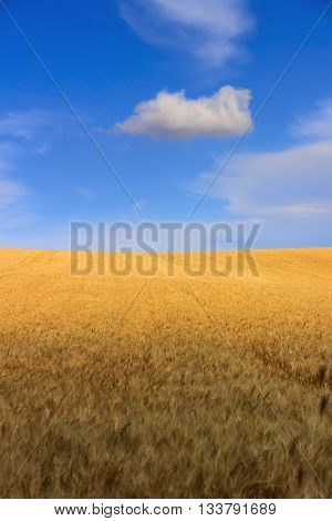 Between Apulia and Basilicata.Hilly landscape with cornfields.ITALY. Hilly landscape: cornfields between light and shadow.