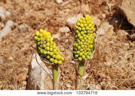 Green berries on the seed heads of Dragon Lilies (Dracunculus Vulgaris) growing at Chorio on the Greek island of Halki in June 2015.