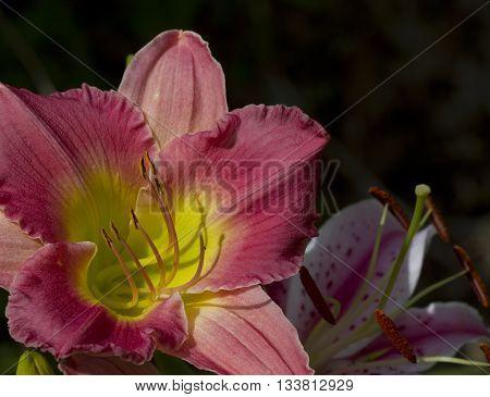 Pink and Peach Daylily With Yellow Throat Hemerocallis