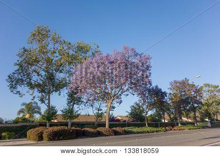 Residential houses along Adolfo Street decorated with Purple Blue Jacaranda Camarillo Ventura county CA