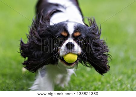 cute dog cavalier spaniel with ball running on the grass