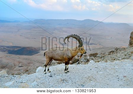 Nubian ibex on the rim of the crater Ramon.