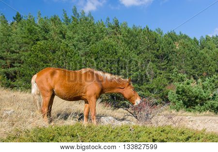 Hungry horse eating hips in Crimean mountains