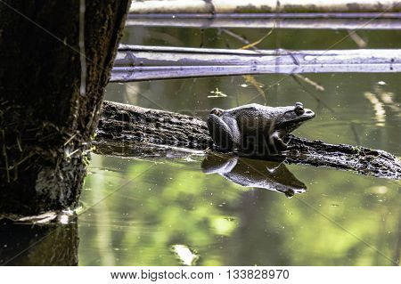 Bullfrog on a log in a pond