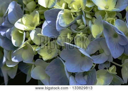 blue and white hydrangia petals as a background