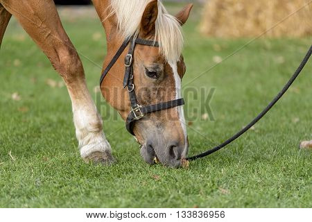 portrait of palomino horse while grazing grass