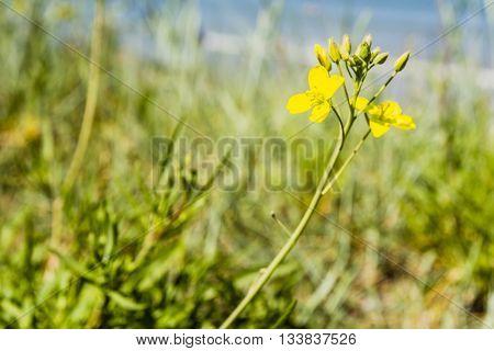 Diplotaxis Tenuifolia, Perennial Wall-rocket
