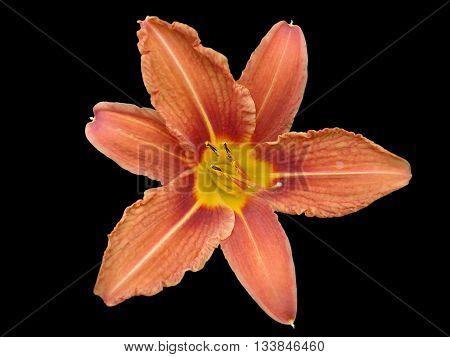 Orange lilium flower orange day lily isolated on black.