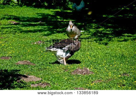 many ducks playing in a green and fresh grassanimal