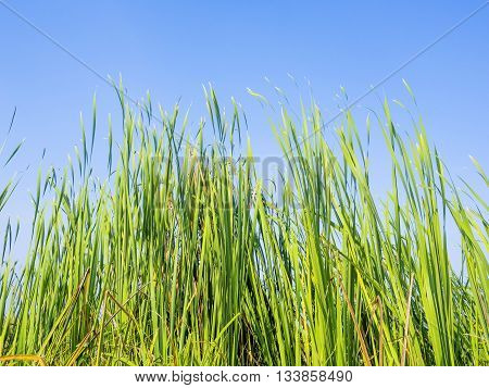 green water plants in tropical wetland Typha Angustifolia in a natural pond blowing in the wind outdoor on blue sky background their long leaves showing pure and free emotion poster