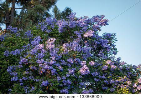 Flowering purple-blue Jacaranda tree crown with brown fruit pods